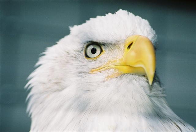 Eagle looking very intently